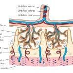 placenta vasi